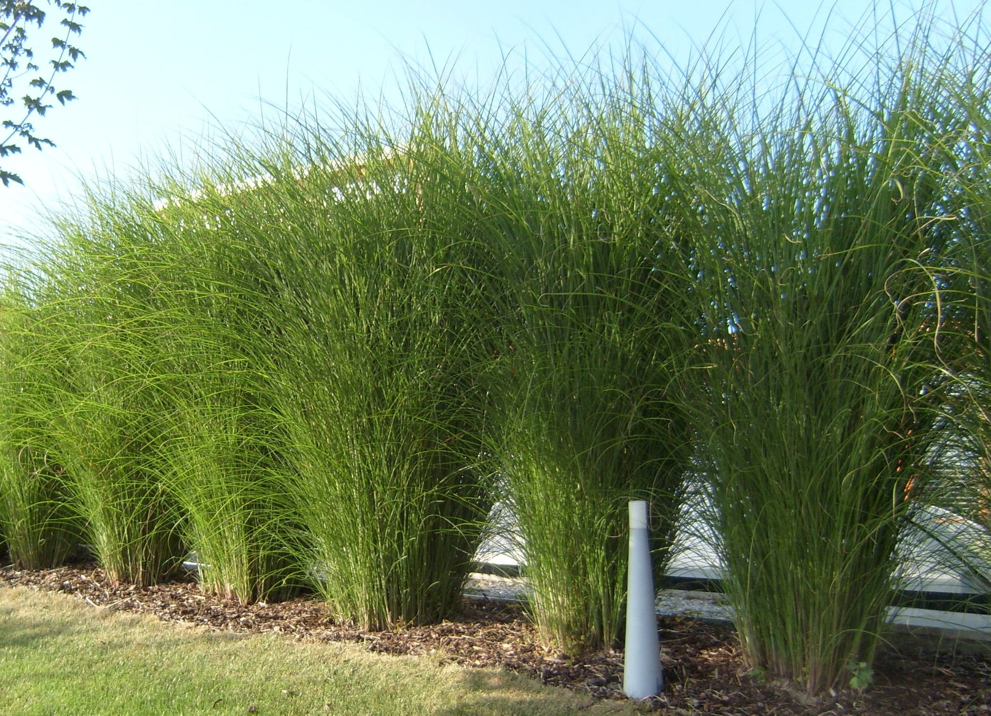 ozdobnice jemn miscanthus sinensis gracillimus. Black Bedroom Furniture Sets. Home Design Ideas
